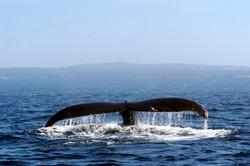 Humpback whale off the coast of Newfoundland.