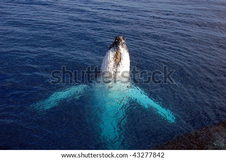 Humpback whale on its back reaching out of the ocean
