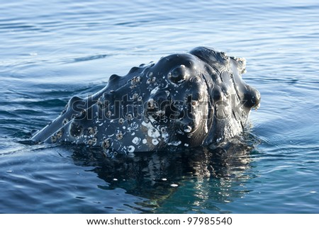 Humpback whale's head peering out of the waters of the Southern Ocean- 2.