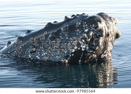 Humpback whale's head peering out of the waters of the southern ocean-4.