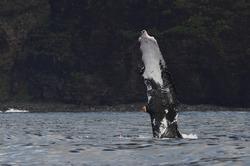 Humpback Whale slapping pectoral fin off the Na Pali Coast on Kaua'i Hawai'i