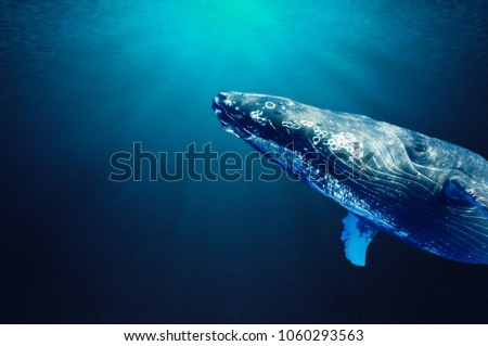 Humpback whale swim and enjoy in the clear blue ocean water. Portrait of a humpback whale up close. Clear blue ocean water and sunlight beneath the surface of water in the background.   #1060293563