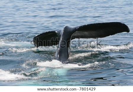Humpback Whale Tail dive off of the coast of Provincetown Cape Cod. - stock photo