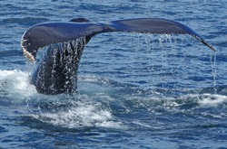 Humpback whale tail fluke rising out of the ocean side view with skin texture and water running off