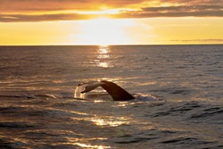humpback whale tail in a beautiful sunsent in the atlantic ocean near husavik iceland