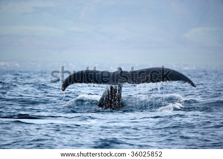 humpback whale tail in maui hawaii fluke up dive