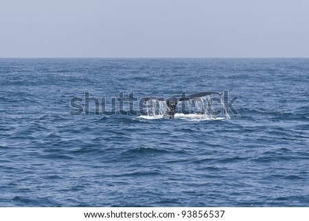 Humpback whale tail in the Pacific ocean.