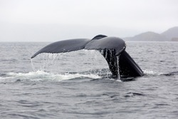 Humpback whale tail showing as whale dives for food in Trinity Bay, Newfoundland and Labrador, Canada.