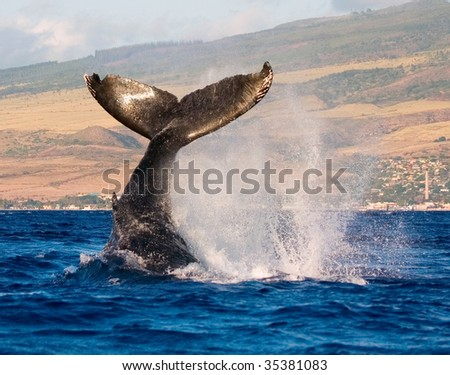 humpback whale tail slapping the tropical waters of hawaii