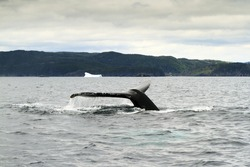 Humpback whale tail with iceberg in the background.