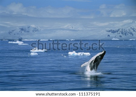 Humpback whale, the Antarctic