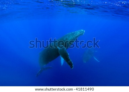humpback whale underwater in maui hawaii