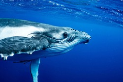 Humpback Whale , Vava'u, Tonga