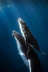 Humpback whales and calf