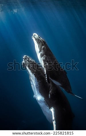 Stock Photo Humpback whales and calf