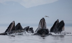 Humpback whales bubble net feeding, a cooperative hunting behavior that shows just how intelligent these animals are. This feeding behavior is only seen in Southeast Alaska while hunting small fish
