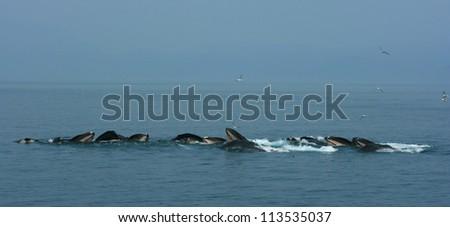 Humpback Whales Feeding, near Juneau, Alaska