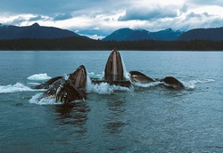 Humpback whales lunge feeding (Megaptera novaeangliae), Alaska, Southeast Alaska, near Frederick Sound, Taken 07.96