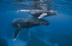 Humpback whales: mother and calf
