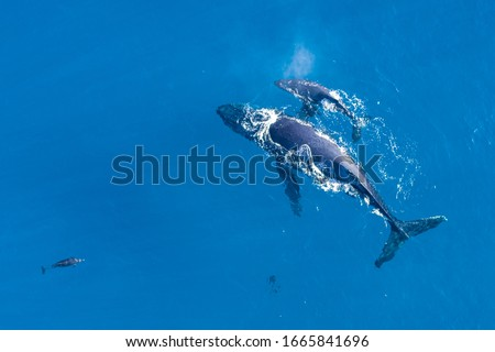 Humpback whales photographed from above with aerial drone off the coast of Kapalua, Hawaii. Mother whale and her calf splash in the warm Pacific waters as dolphins join in on the fun.