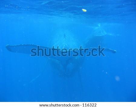 Las Ballenas jorobadas, Tonga