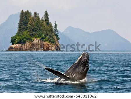 Humpbacks whale breaching jumping. Alaska. Stock fotó ©