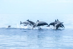 Hundred dolphins around us in Bais sand bar. Negros Oriental, Philippines