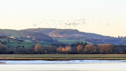 Hundreds of Barnacle Geese taking flight from the side of the River Nith Dumfries and Galloway