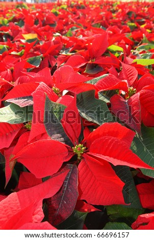 Hundreds of beautiful poinsettia flowers ready for the holiday season