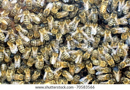 hundreds of bees at work on  honeychells