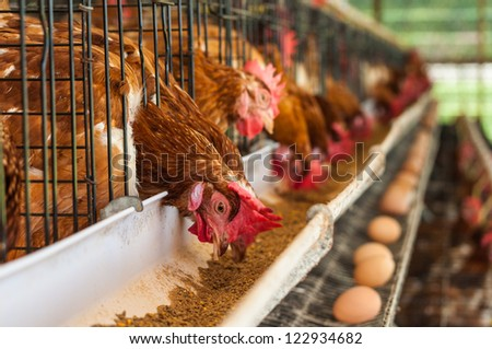 Hundreds of chicken eggs Eating and eggs