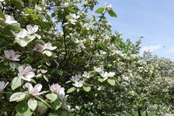 Hundreds of pinkish white flowers in the leafage of quince trees against blue sky