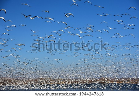 hundreds of white snow geese taking flight over a pond on a sunny winter day in bosque del apache national wildlife refuge near socorro, new mexico Foto stock ©