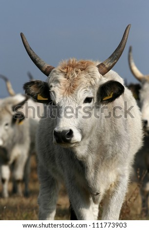 Hungarian gray cattle portrait