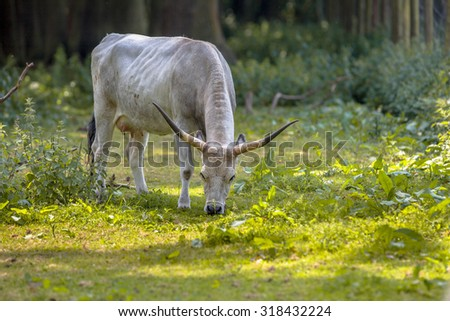 Hungarian Grey cattle grazing in a forest on a sunny day Stock fotó ©