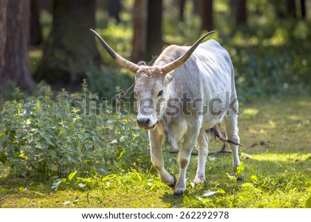 Hungarian Grey cattle in a forest on a sunny day Stock fotó ©