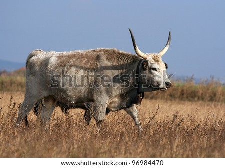 Hungarian grey cattle walking in the field
