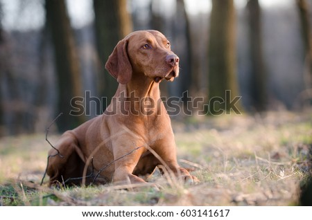 Hungarian hound dog in forrest in spring time #603141617