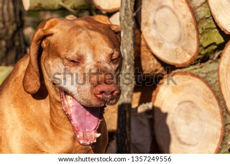 Hungarian hound in the forest. Hound. Spring evening with dog. Loyal friend. #1357249556