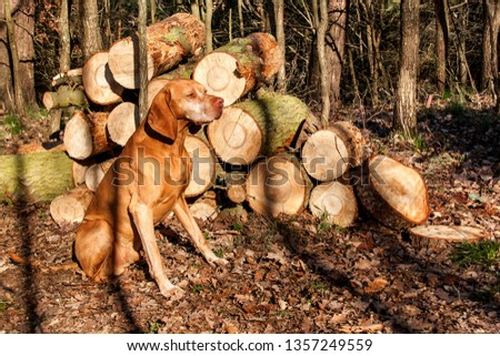 Hungarian hound in the forest. Hound. Spring evening with dog. Loyal friend. #1357249559