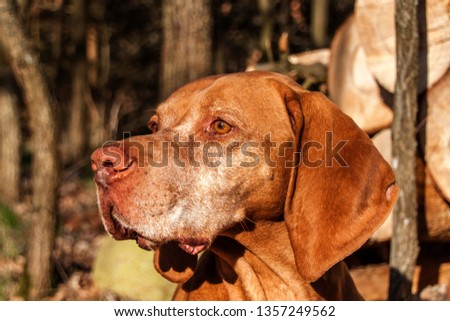 Hungarian hound in the forest. Hound. Spring evening with dog. Loyal friend. #1357249562