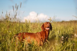 Hungarian hound pointer vizsla dog in summer time in the field