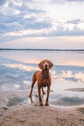 Hungarian hound pointer vizsla dog in summer time in the lake