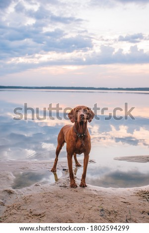 Hungarian hound pointer vizsla dog in summer time in the lake Foto d'archivio ©