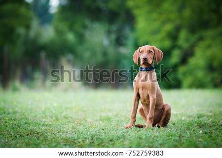 Hungarian pointing dog, vizsla puppy sits in the grass  #752759383