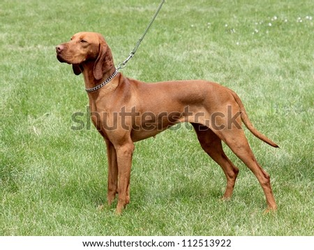 Hungarian Short-haired Pointing Dog in the garden