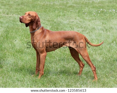 Hungarian-Short haired Pointing Dog on the meadow - Hungarian Vizsla
