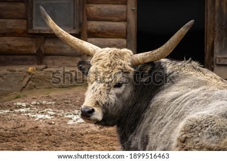 Hungarian Steppe Cattle aka Hungarian Grey. Stock fotó ©