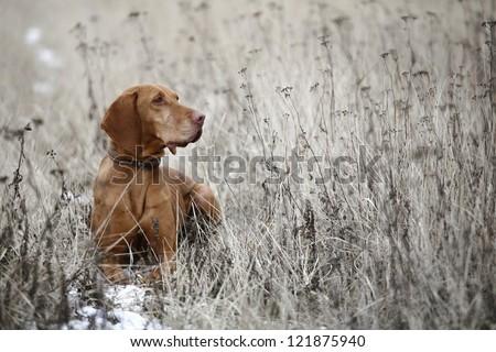 Hungarian Viszla pointer dog