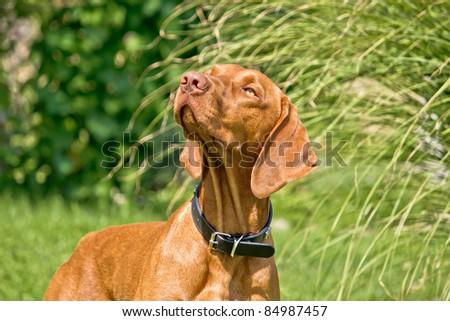 Hungarian viszla posing - Hungarian pointer hunting dog II